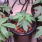 Growing Marijuana: Managing Small Plants